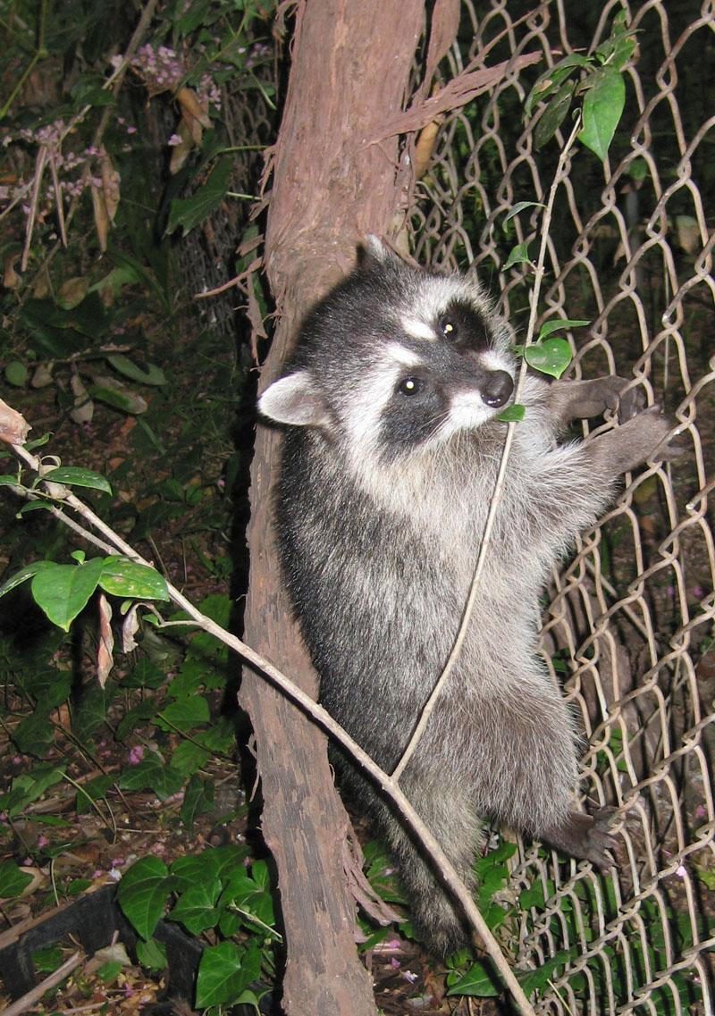 raccoon lovers want you